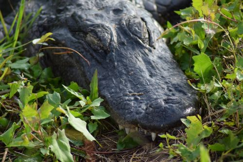everglades national park gator
