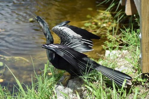 everglades national park anhinga