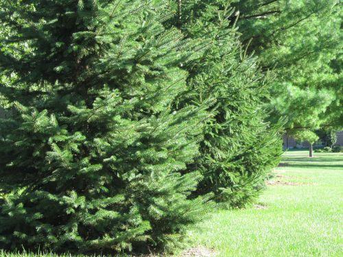 evergreen evergreens trees