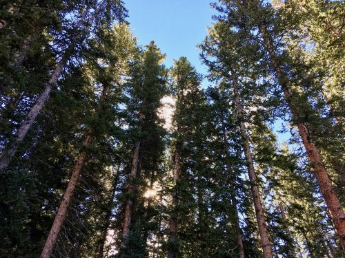 Evergreen Backdrop