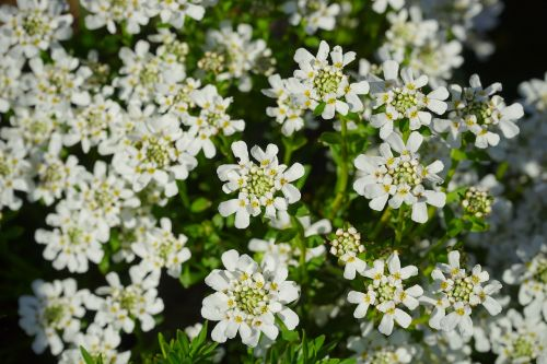 evergreen candytuft flowers white