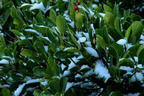 evergreen tree  holiday - event  christmas