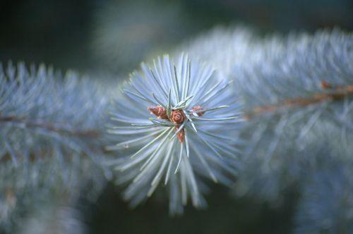 evergreen tree needles evergreen