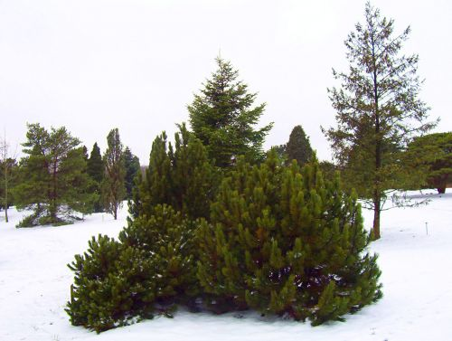 Evergreen Trees And Bushes In Snow