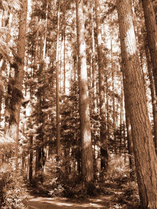 Evergreen Trees Washington Forest
