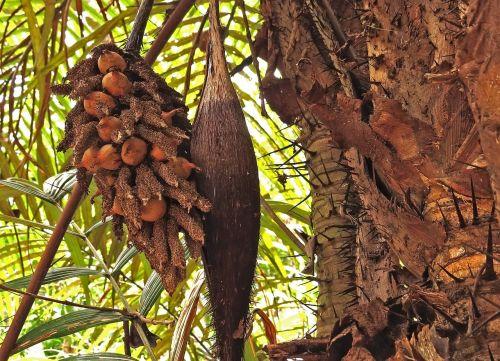 exotic thorns brazil