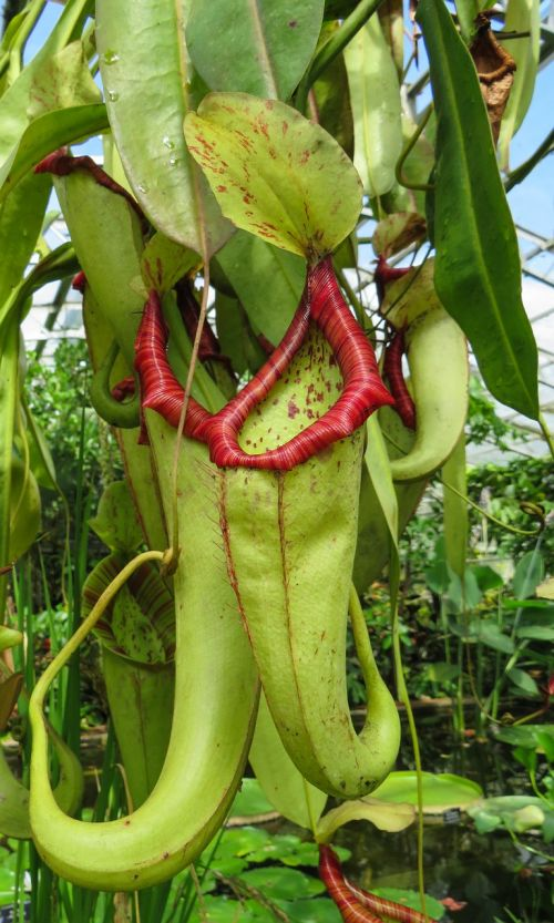 exotic plant carnivorous