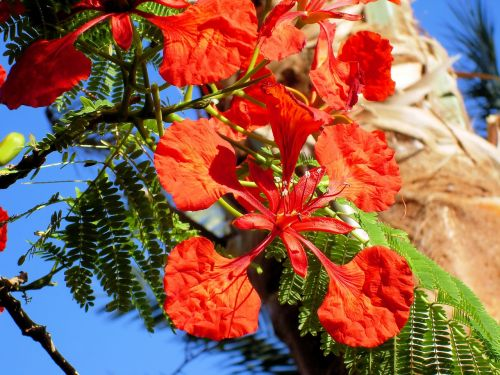 exotic flower delonix regia tropic