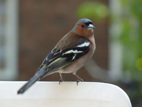 sparrow bird fauna