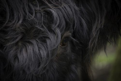 eye scottish highlander