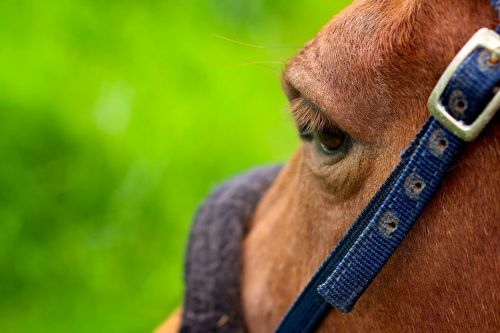 eye horse mammal