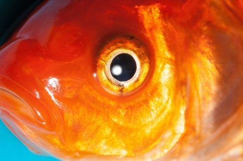 eye goldfish freshwater fish