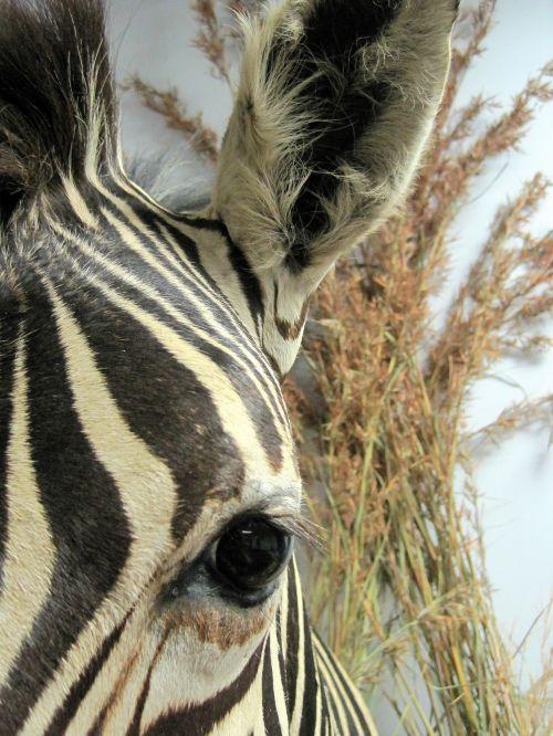 Eye Of Mounted Zebra Head