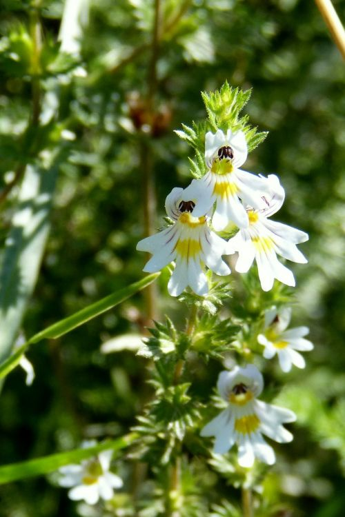 eyebright euphrasia officinalis flower
