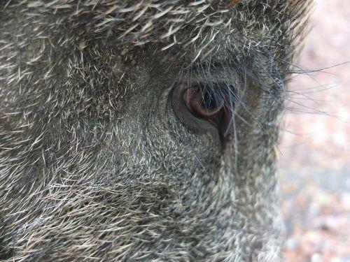 eyelashes long boar
