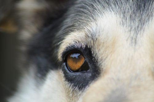eyes dog closeup