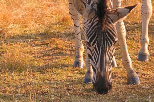 gyvūnas, zebra, jaunas, veidas, šviesa, auksinis, švytėjimas, jaunosios zebros veidas