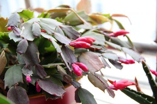 fėja,Kalėdų kaktusas,augalas,vazoniniai augalai,raudonos gėlės,kaktusas