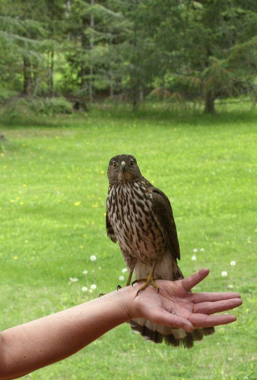 falcon predator nature