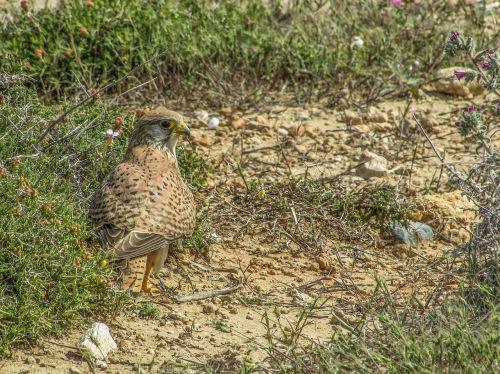 falcon bird animal