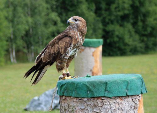falcon kestrel falconry