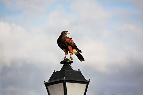 falcon aguila wings