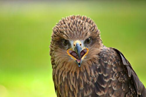 falcon raptor bird