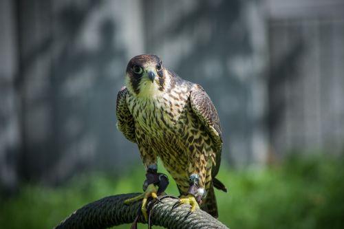 falcon falconry bird