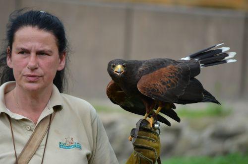 falcon raptor falkner