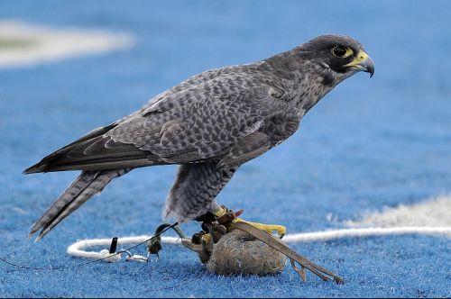falcon mascot military