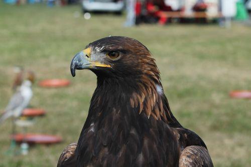 falcon bird predator