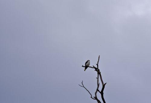 Falcon In The Tree
