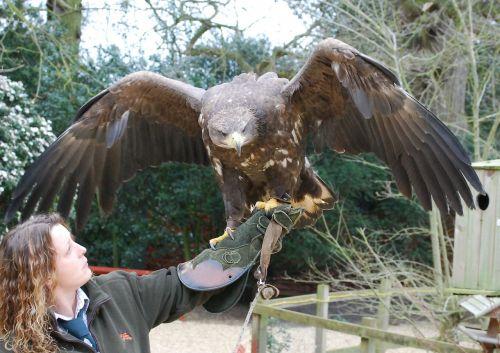 falconry eagle plumage