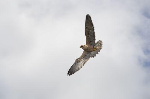 falk bird of prey attack
