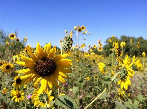 fall autumn sunflower