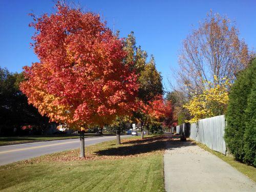 fall tree red