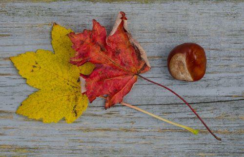 fall leafs chestnut