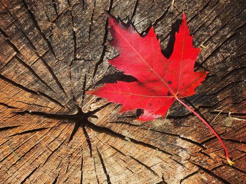 fall leaf maple canada