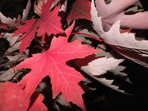 fall leaves red leaf
