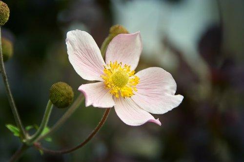 fall anemone  close up  blossom