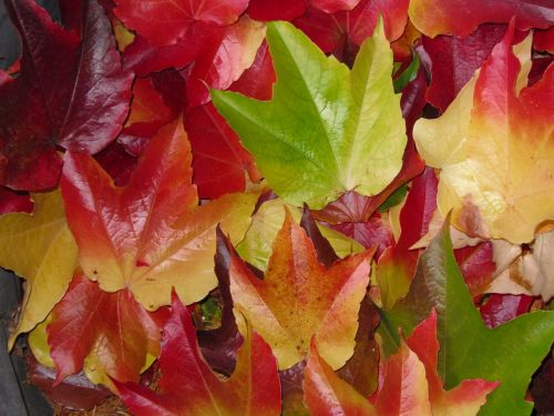 fall foliage maple leaves colorful