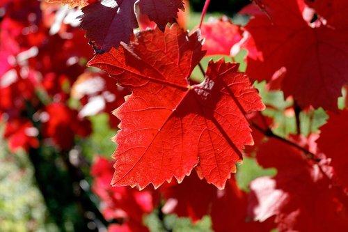 fall foliage  vine  emerge