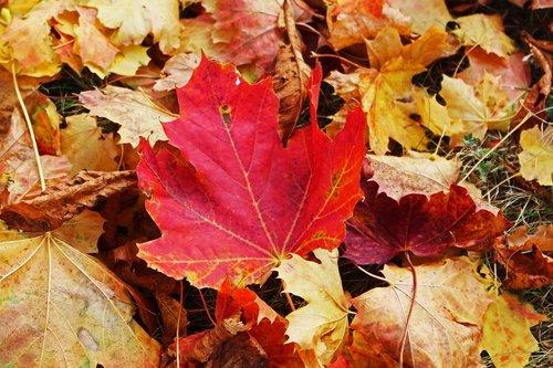 fall foliage  maple leaf  autumn