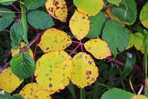 fall foliage  brombeerblatt  autumn