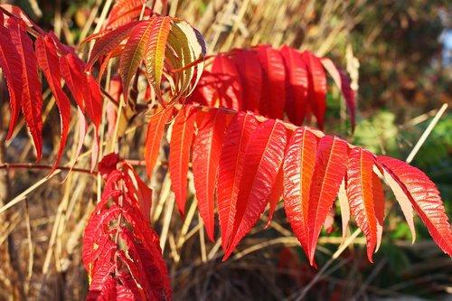 fall foliage  rhus  autumn