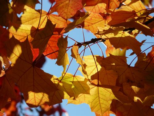 fall foliage autumn maple leaves