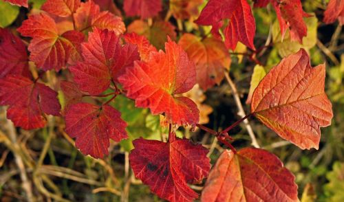 fall leaves intensive wine red
