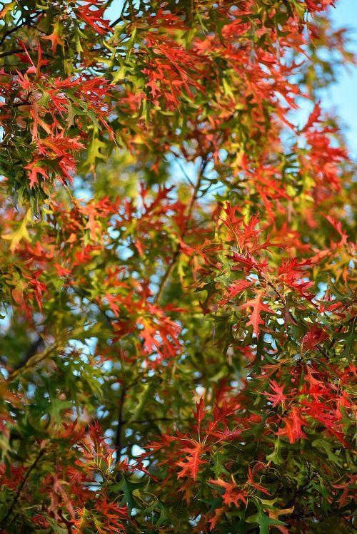 fall leaves background,october,thanksgiving,season,fall leaves,autumn,seasonal,foliage,colorful,oak,leaves,autumn leaves,leaves background,nature,fall,natural