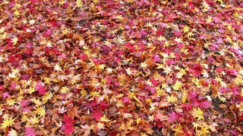 fallen leaves fall of japan maple rugs