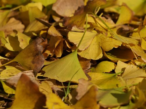fallen leaves,yellow leaves,gingko tree,maidenhair tree,huang,green,branch,vein,late autumn,leaf,yokosuka,otsu park,kanagawa japan,japan